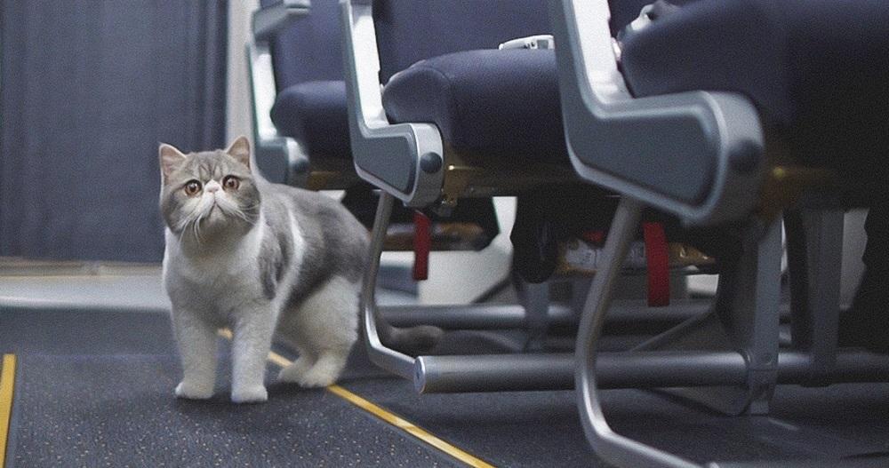 Как перевезти кошку в самолете? Правила, документы для перевозки кота в самолете